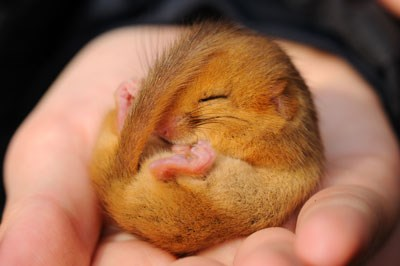dormouse copyright amy lewis