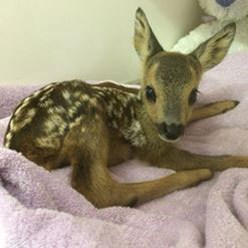 Deer rescued by Brent Lodge